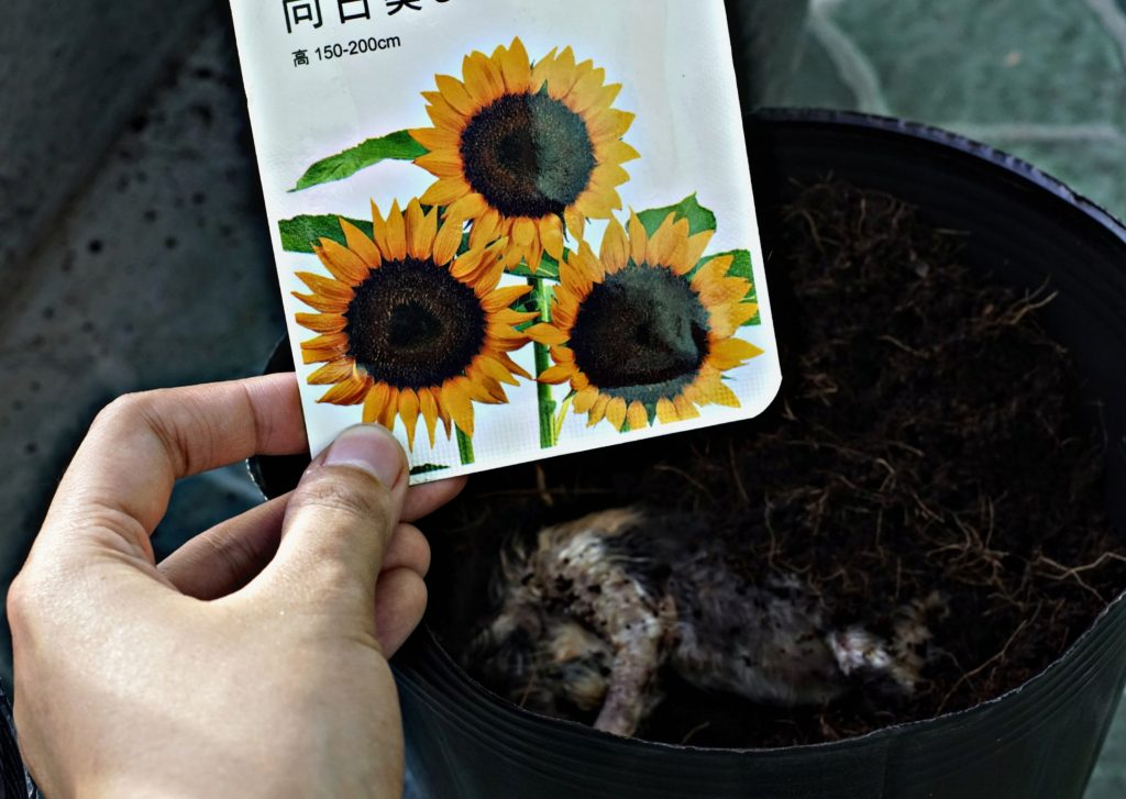 Sunflower Seeds Planted Over the Grave Of Faded Kittens