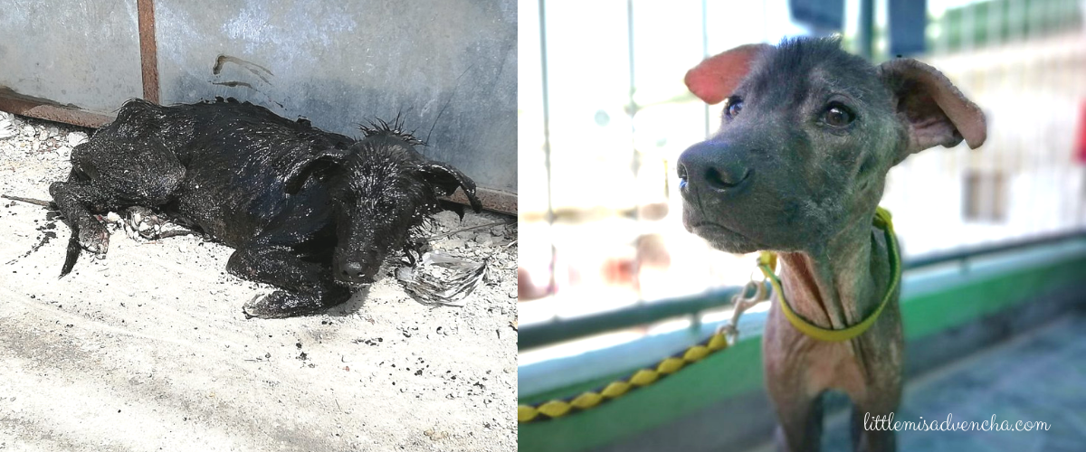 Rescue of Dog Dying From Mange as Early Birthday Gift